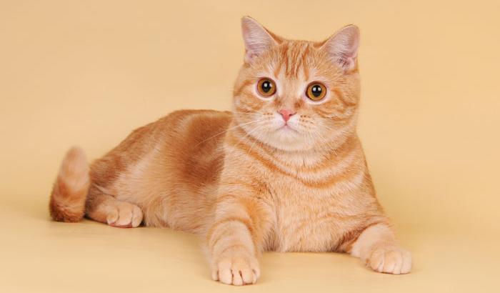 Красная шотландская прямоухая кошка
