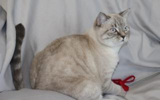 шотландская кошка с голубыми глазами