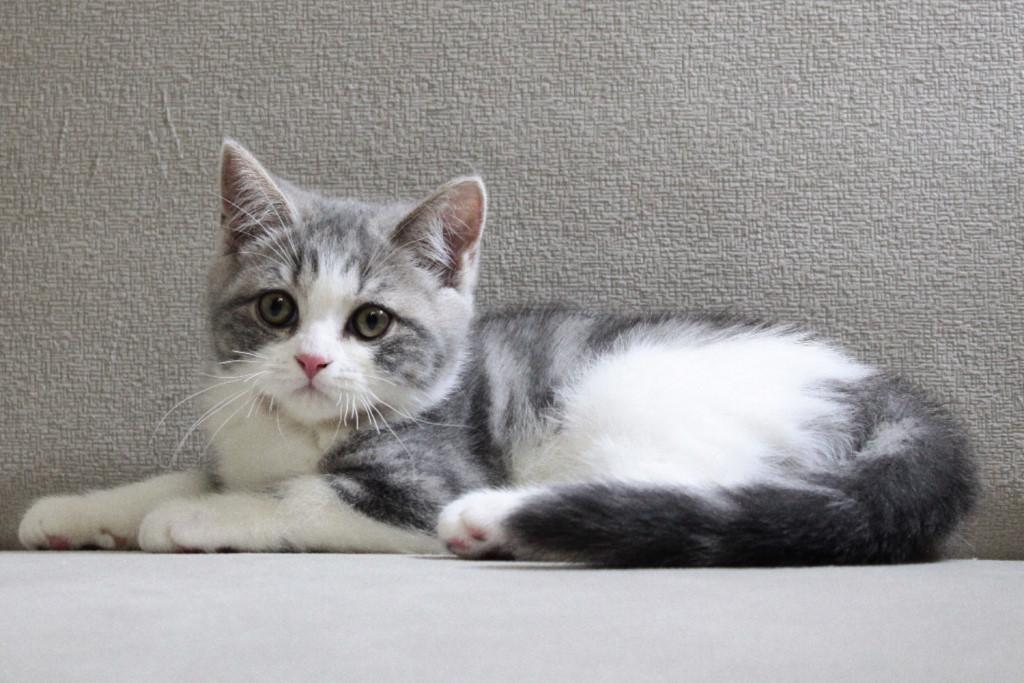 Котенок шотландской прямоухой кошки