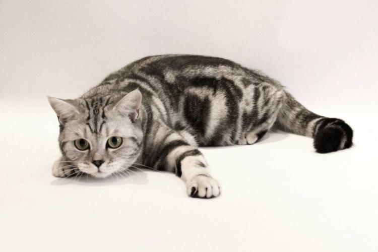 шотландская кошка мрамор на серебре