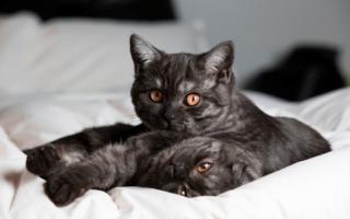 Две шотландские кошки черный дым