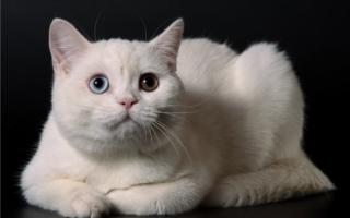Белая шотландская кошка с гетерохромией