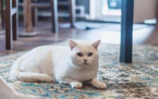 Белоснежная шотландская прямоухая кошка