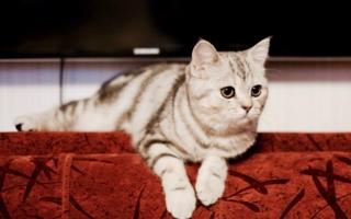 шотландская кошка в домашних условиях