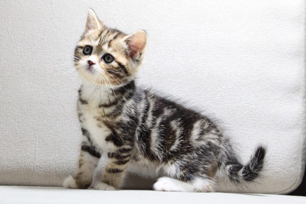 Маленький котенок скоттиш-страйт