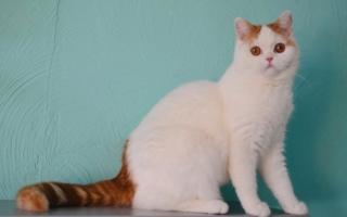 шотландская прямоухая кошка с красным хвостом