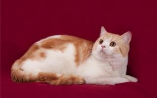 Шотландская прямоухая кошка на красном фоне