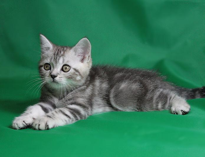Котенок шотландской кошки на зеленом фоне