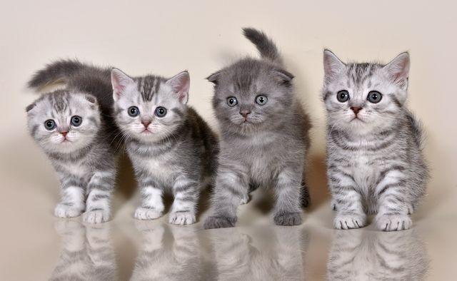 Котята шотландской кошки с разными ушками