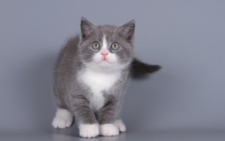 Шотландский котенок биколор серо-белый