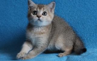 Шотландский котенок тикированный