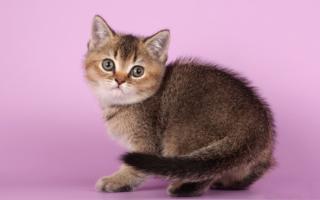 Тикированный котенок скоттиш-страйт на розовом фоне