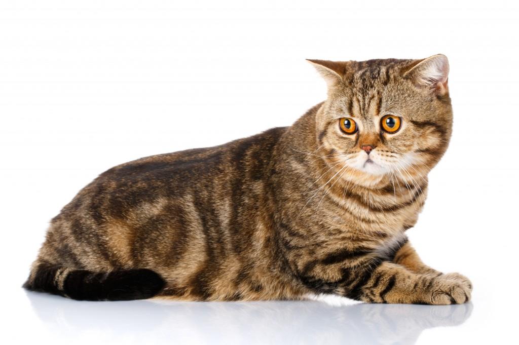 Мраморная коричневая шотландская кошка
