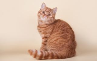 Рыжая шотландская кошка табби