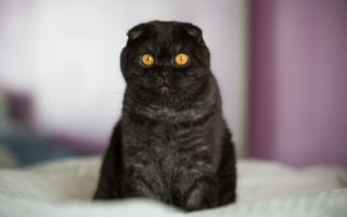 Черный скоттиш-фолд с желтыми глазами