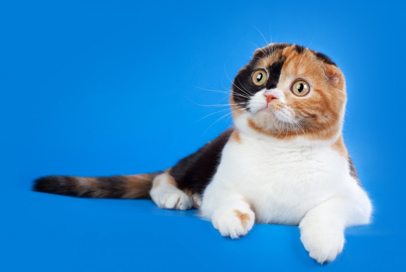 Порода кошек вислоухие фото thumbnail