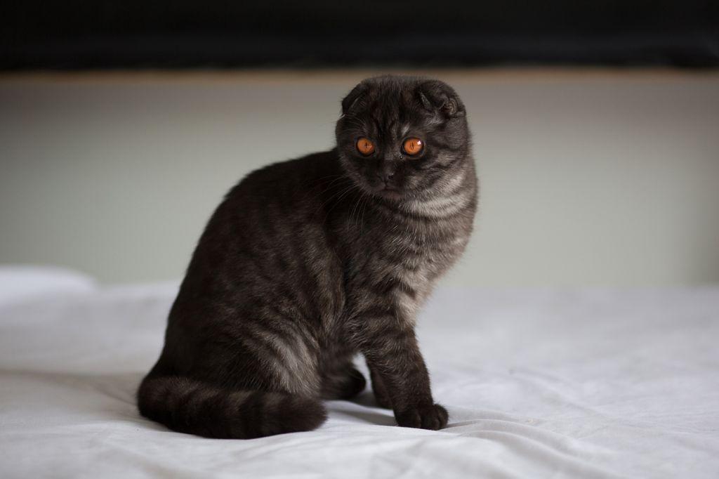 Черная шотландская вислоухая кошка табби