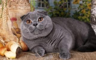Серый кот скоттиш-фолд