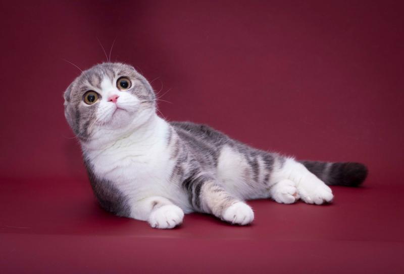 Бело-серая шотландская вислоухая кошка