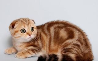 Мраморная шотландская вислоухая кошка золото