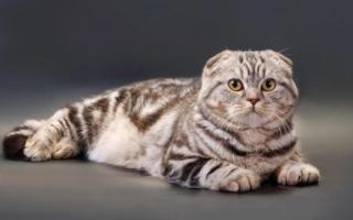 Кот скоттиш-фолд мраморного окраса