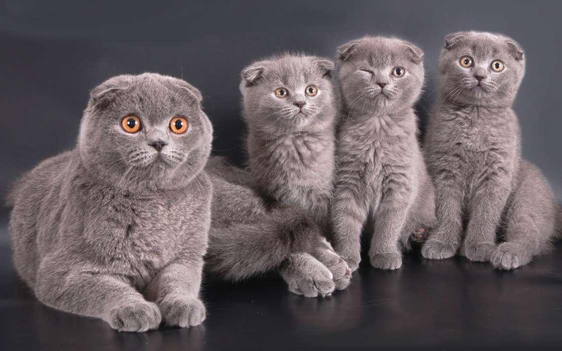Серые котята скоттиш-фолд