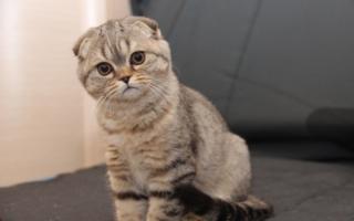Бежево-лиловый котенок скоттиш-фолда