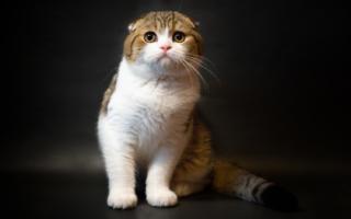 Шотландский вислоухий кот с белой грудкой и лапами