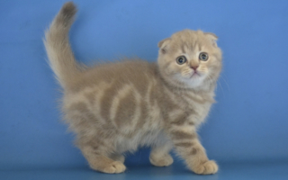 Телесно-бежевый мраморный котенок скоттиш-фолда