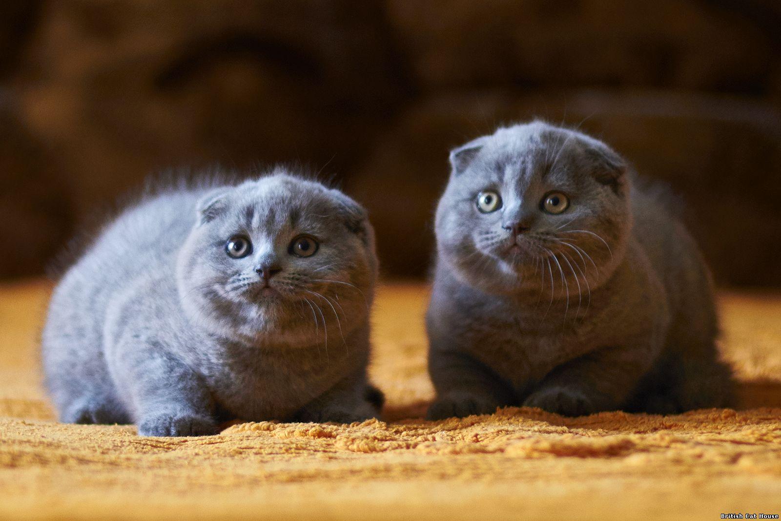 Два шотландских котенка со сложенными ушками