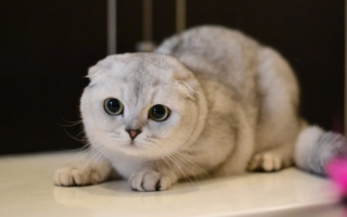 шотландская вислоухая кошка с зелеными глазами