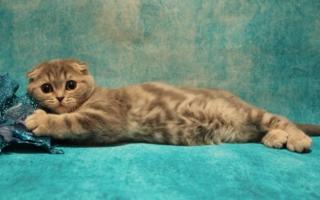 Котенок скоттиш-фолда с мраморным узором