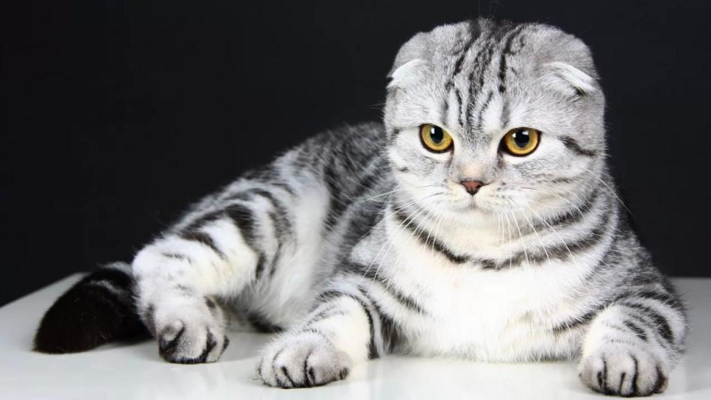Мраморная шотландская вислоухая кошка