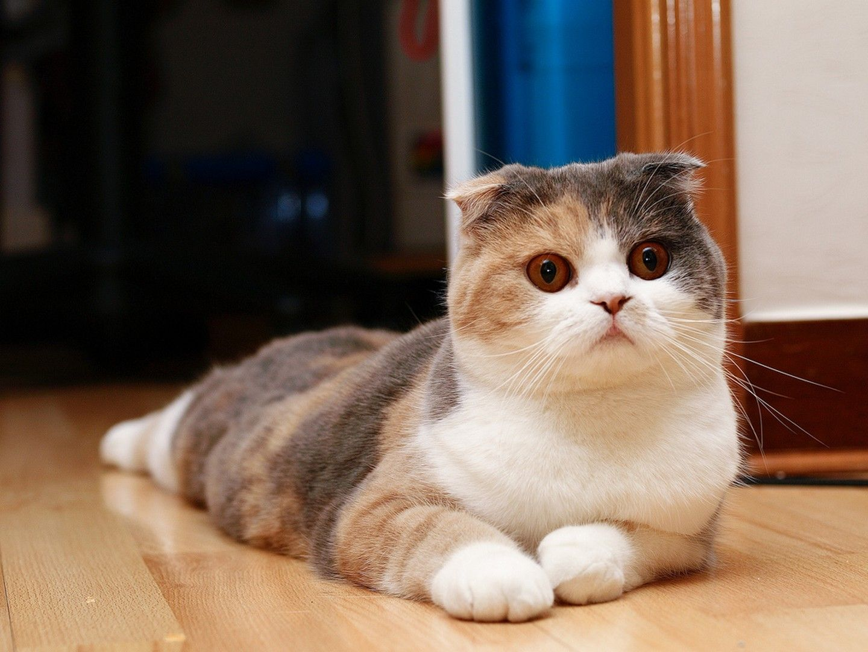 шотландская вислоухая кошка черепахового окраса