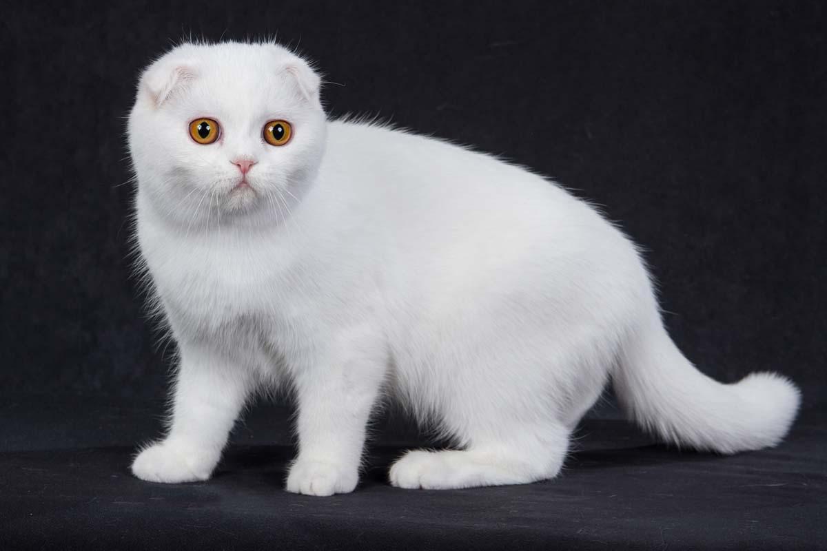 шотландская вислоухая кошка белого окраса с оранжевыми глазами
