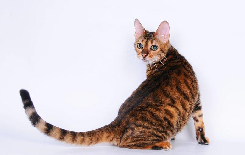 Кошка тойгер с тигровыми полосками