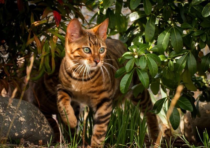 Тойгер на фоне травы