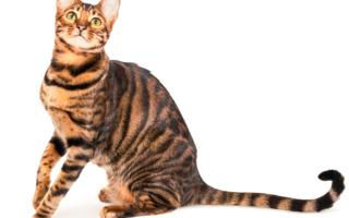 Тойгер - кошка похожая на тигра