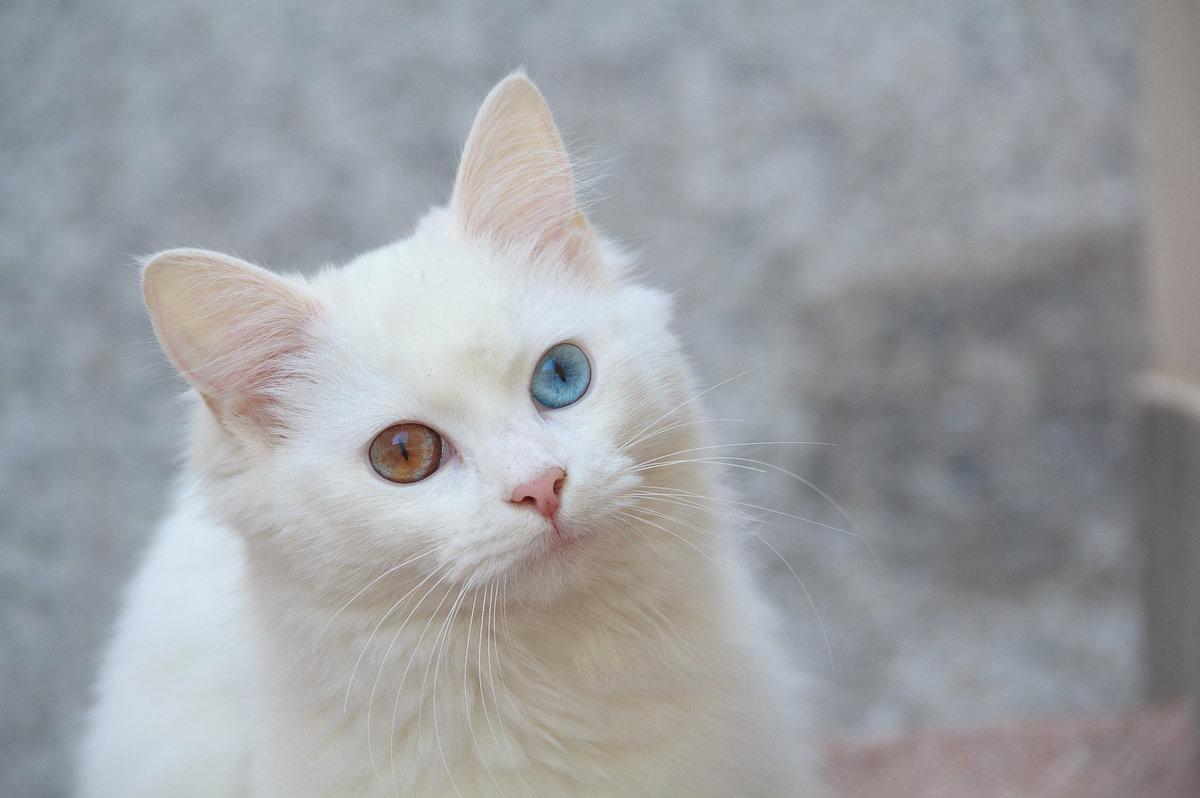 Белая ангора с разным цветом глаз