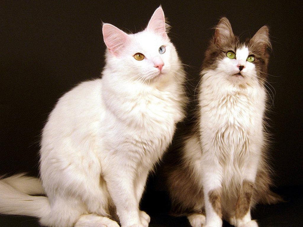 Белая и бело-коричневая турецкая ангора