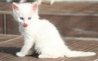 Белый котенок турецкой ангоры