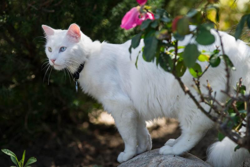 Белая турецкая ангора на траве