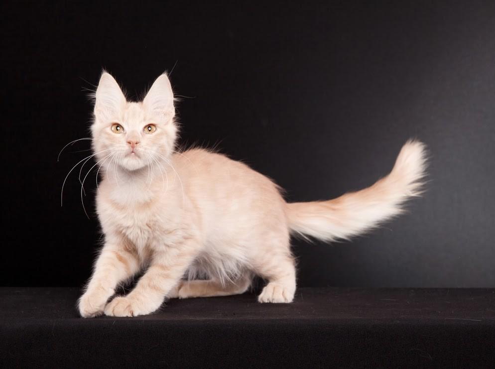 Кремовый котенок турецкой ангоры