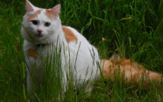 Ванская кошка на прогулке