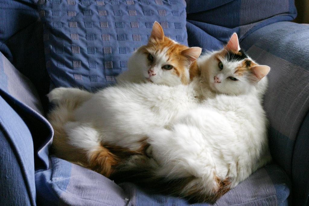 Две ванские кошки разных окрасов