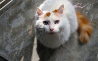 Ванская кошка с голубыми глазами