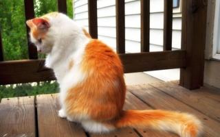 Ярко-рыжая ванская кошка
