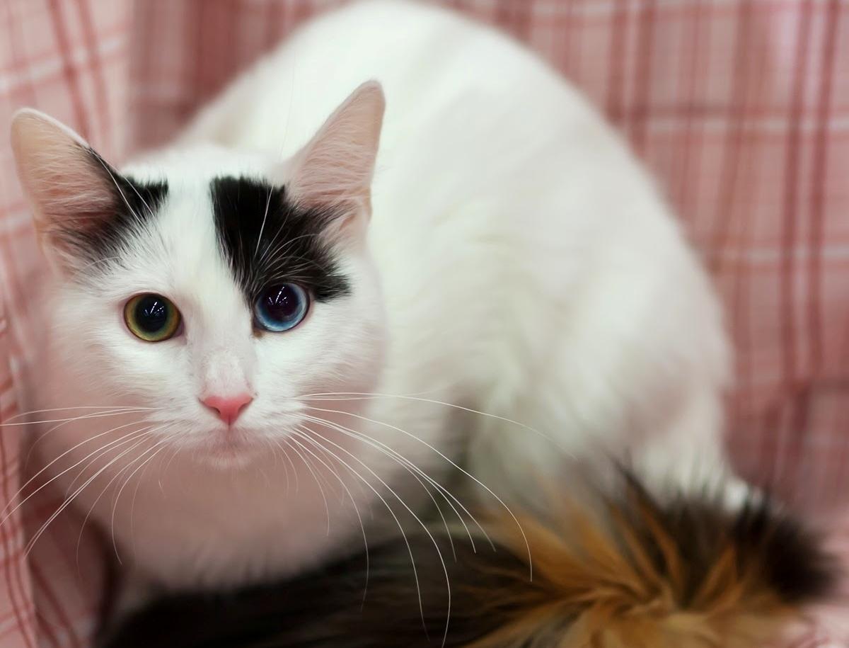 Ванская кошка черепахового окраса