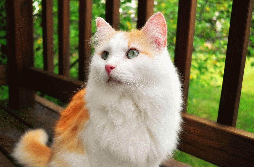 Ванская кошка с рыжими пятнами