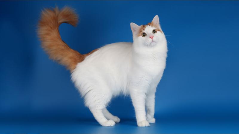 Ванская кошка с рыжим хвостом